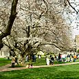 Cherry Blossom Festival, Main Quad, University of Washington