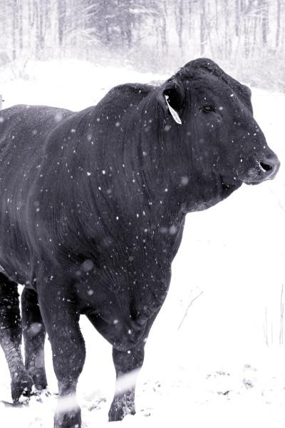 1_bull