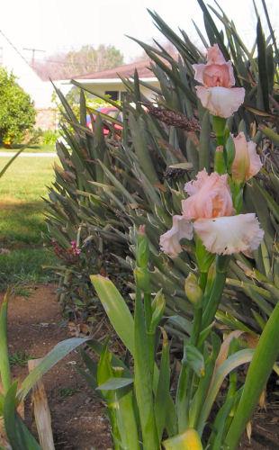 Early Irises
