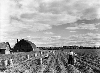 Harvesting_potatoes_on_small_farm_m