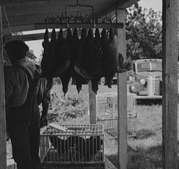 Hanging_chickens_x350w